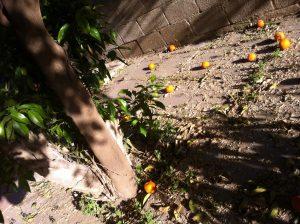עץ תפוזים בתחילת הקיץ